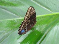 Butterfly JLR